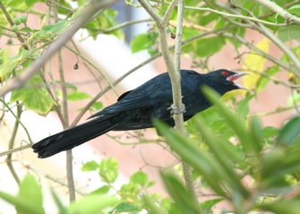 The call of the Asian Koel