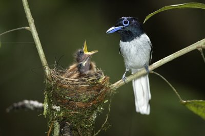 Nesting of Asian Paradise Flycatcher