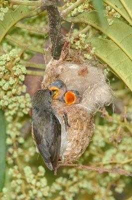 Nesting of Scarlet-backed Flowerpeckers