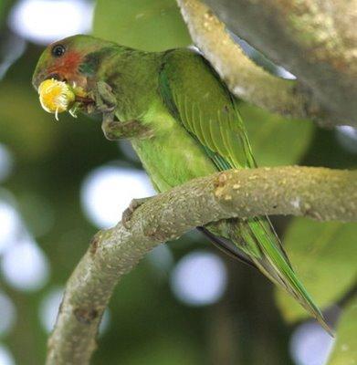 Long-tailed Parakeet and yellow simpoh