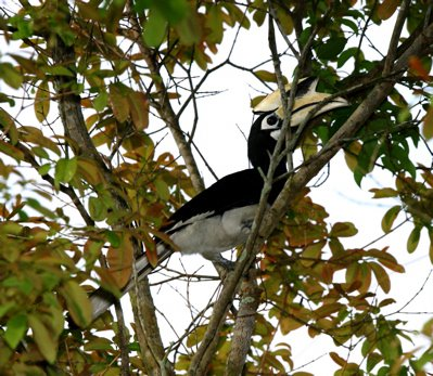 Oriental Pied Hornbills in urban Singapore
