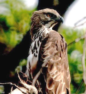 Saving a raptor's nest of 50 years in a 100 year old Alstonia tree