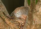 ZEBRA DOVES – 16. It was only a trial nest