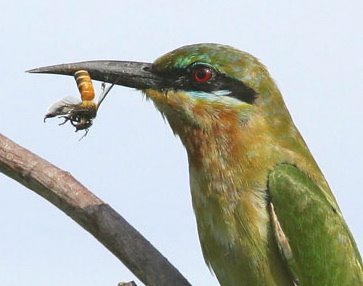 Bee-eaters and pellet casting