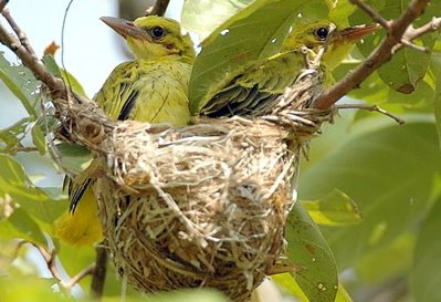 Nesting of Black-naped Oriole