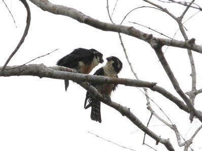 Courtship of the Black-thighed Falconet