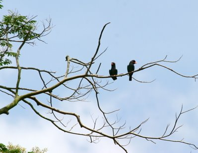 Courtship of Dollarbirds 2: What the eyes cannot see