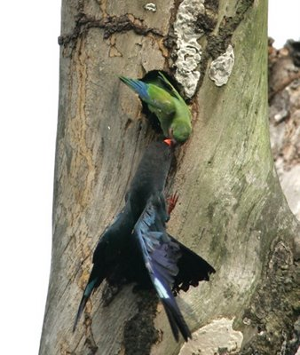 Life around a rotting tree trunk 4: Dollarbirds and parakeet