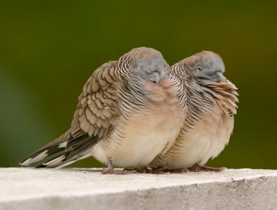 ZEBRA DOVES – 19. Are they really gone?