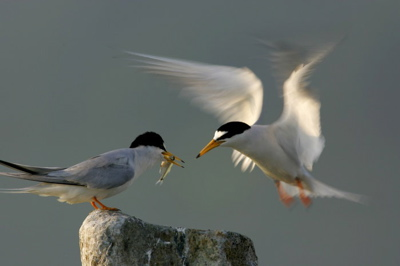 Little Terns: Courtship and after