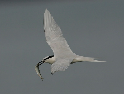 Nesting ecology of Black-necked Tern