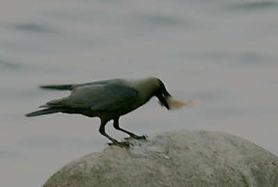 A House Crow went fishing