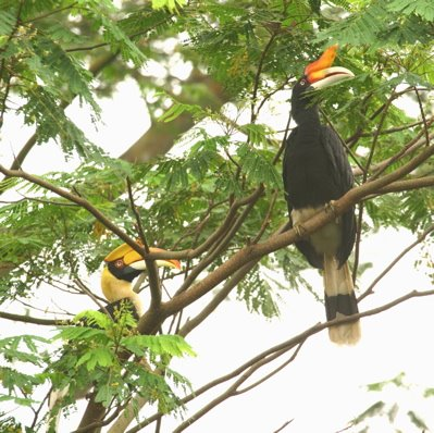 Loneliness makes strange bedfellows: Great and Rhinoceros Hornbills