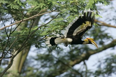 Great and Rhinoceros Hornbills: More images