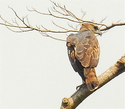 Changeable Hawk Eagle and the long-tailed macaque
