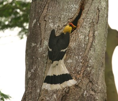 Raid on the hornbill's potential nesting cavity