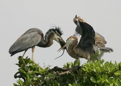 Purple Heron: Feeding behaviour