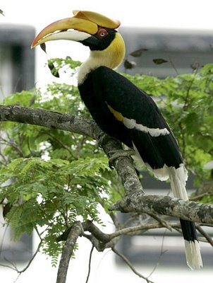 Roost of the Great Hornbill