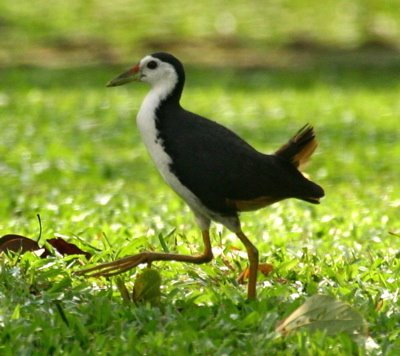 Breeding Distraction: Lapwing and waterhen