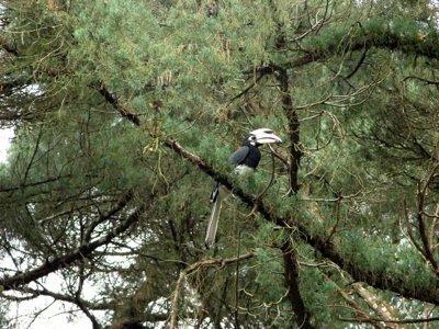 An Oriental Pied Hornbill eating a bee