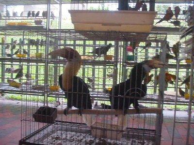 Hougang's Hell For Hornbills