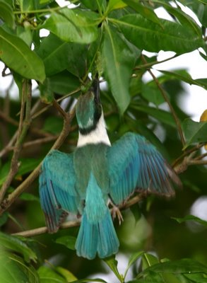 <strong>Collared Kingfisher and the caterpillar</strong>