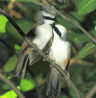 White-crested Laughingthrush and bananas