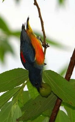 Orange-bellied Flowerpecker feeding