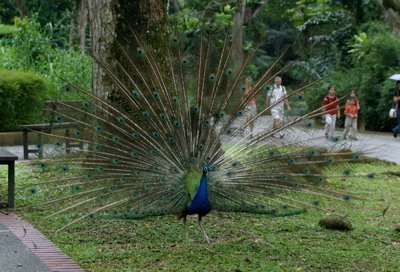 Nesting of captive Indian Peafowl