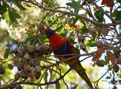 Rainbow Lorikeet 2: In Western Australia
