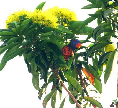 Rainbow Lorikeet 1: A future pest in Singapore?