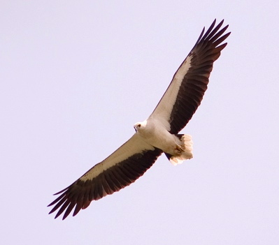 White-bellied Sea Eagle: Not just a fishing expert