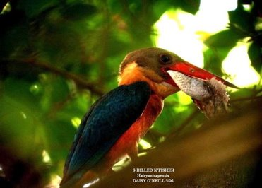 Tale of the Stork-billed Kingfisher