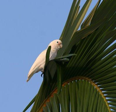 Tanimbar Corella and Yellow-crested Cockatoo