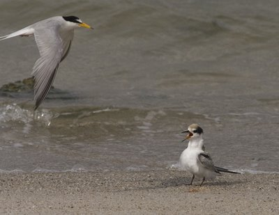 Little Terns: Feeding of the juveniles
