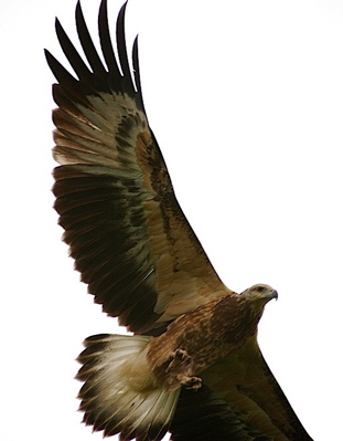 Attacked by White-bellied Sea Eagle