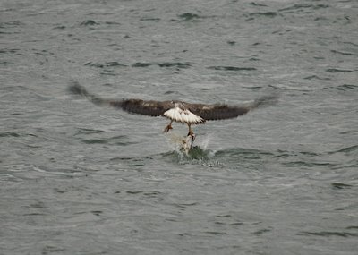 White-bellied Sea Eagle in action