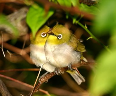 Status of the white-eyes in Singapore