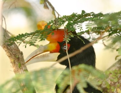Tales of a Rhinoceros Hornbill