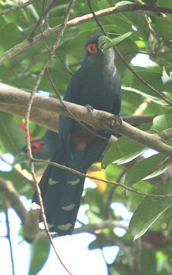 Ground foraging by a Malkoha