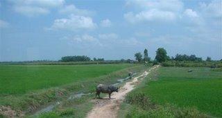 no caminho encontramos diversos campos de arroz e bufalos d'agua