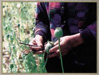 opium harvest in Afghanistan highest ever