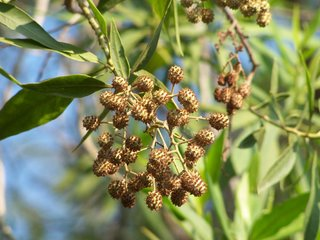 Conocarpus lancifolius cones