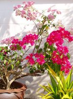 Sun on the Bougainvillea, 7th June