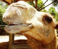 Hi, I am a camel
