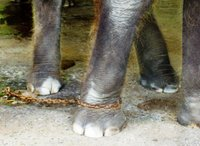Elephant's Leg in Chains