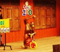 orangutan Rides a Bike