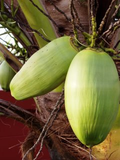 Coconuts growing in my garden yesterday