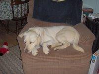 Sadie sleeping in the chair