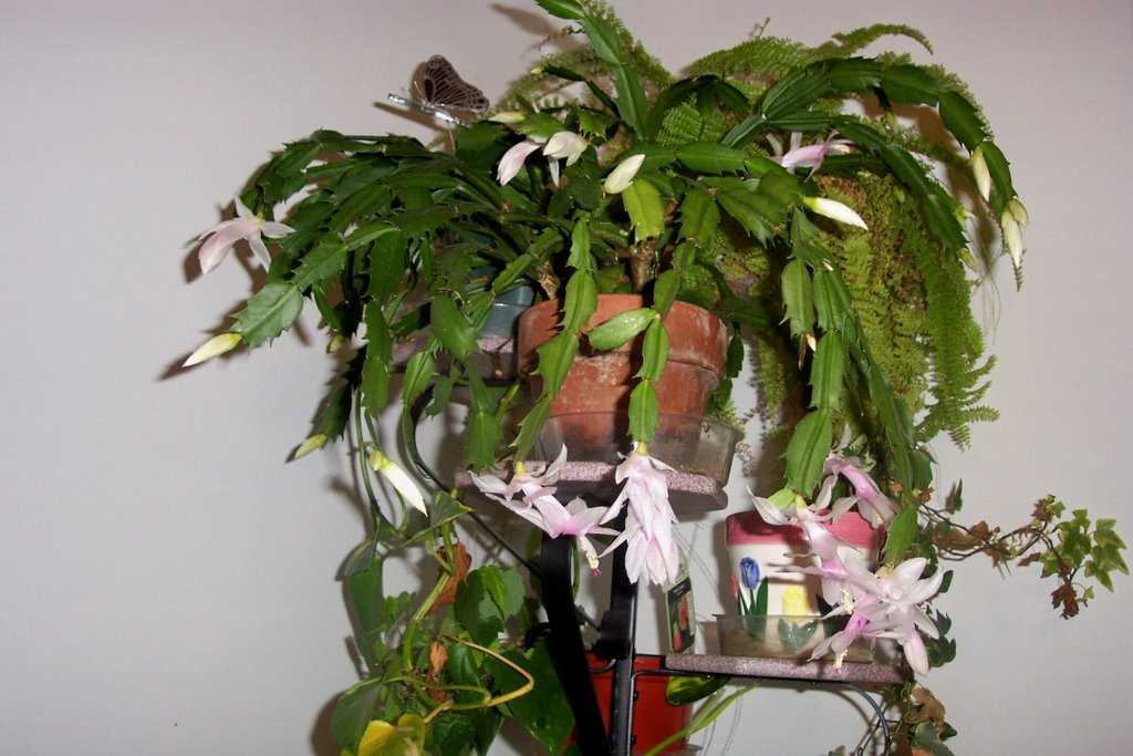 the white christmas cactus is blooming its in dire need of a trim i have to remember to do that when its finished blooming it also needs to be repotted - How To Root A Christmas Cactus